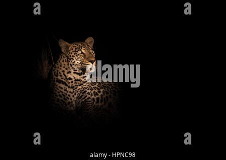 Ein männlicher Leopard (Panthera pardus) starrte auf den Baum, wo seine Töten aus der Gefahr von anderen Raubtieren - Stockfoto