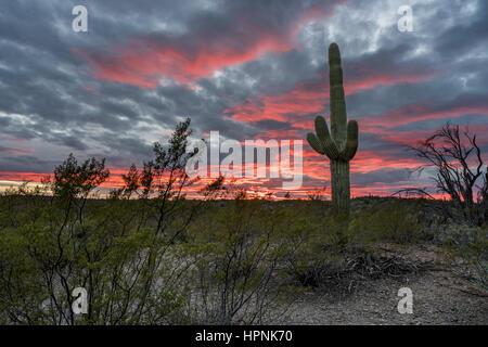 Saguaro-Kakteen stehen gegen die untergehende Sonne in der Nähe von Tucson Arizona - Stockfoto
