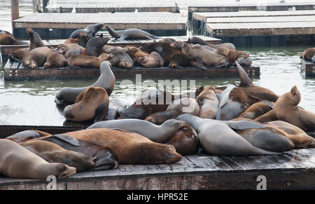 Kalifornischen Seelöwen am Pier 39, San Francisco, Kalifornien schleppen - Stockfoto