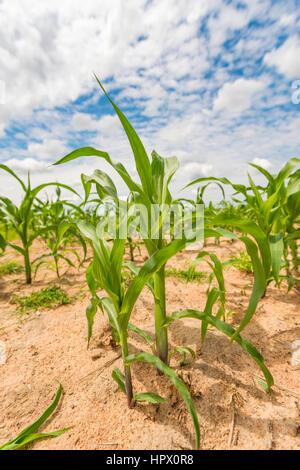 Eine kommerzielle Mais-Ernte in Simbabwe Harare Süden der Provinz. - Stockfoto
