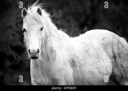Wildes Carneddau Pony allein in einem SSSI in Lixwm Vegetation bis aktivieren Wildblumen zu gedeihen - Stockfoto