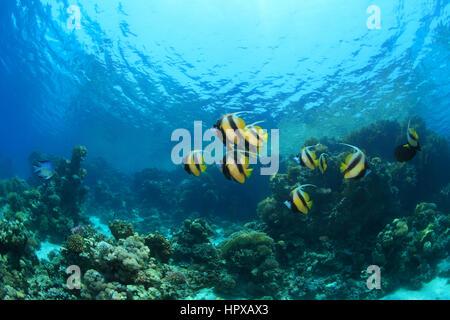 Tropische Korallenriffe und bunte Fische unter Wasser im Roten Meer - Stockfoto