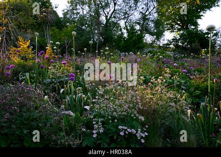 Allium, Alliums, weiß, lila, Blume. Blumen, Blüte, ornamentale ...