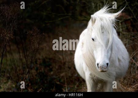 Wildes Carneddau Pony mit ihrer Mähne im Wind wehen wird, vom Sturm Ewan, die North Wales getroffen - Stockfoto