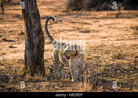 Leopard tragen Tracking collar, Panthera Pardus, Okonjima, Namibia, Afrika, von Monika Hrdinova/Dembinsky Foto Assoc - Stockfoto