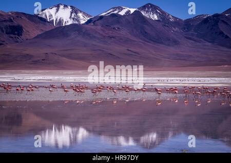 Schnee, Spitze Bergen blaue Laguna Kara mit Flamingos in Eduardo Avaroa Anden Fauna Nationalreservat, Bolivien reflektieren - Stockfoto