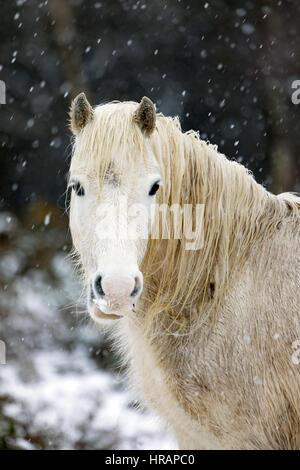Wilde Welsh Carneddau Pony Braves die eisigen Temperaturen im Norden von Wales als Schnee fällt Frühling - Stockfoto