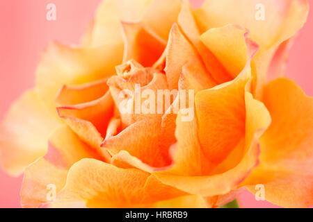 schöne orange Rose auf rosa Stillleben - Konzept alternde Jane Ann Butler Fotografie JABP1842 - Stockfoto