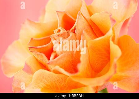 schöne orange Rose auf rosa Stillleben - Konzept alternde Jane Ann Butler Fotografie JABP1841 - Stockfoto