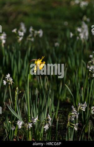 einzelne gelbe Narzisse - Stockfoto