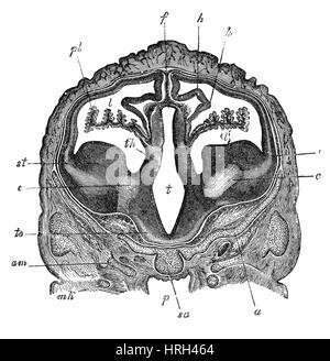 Gehirn des Embryos Schafe, Querschnitt - Stockfoto