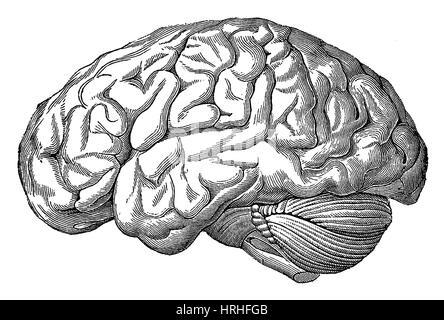 Gehirn - Stockfoto