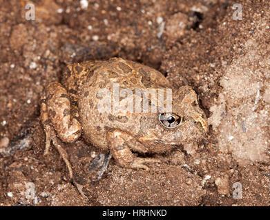 Kleiner Brauner Frosch, verzierten wühlen Frosch Platyplectrum Ornatum Sy Opistodon Ornatum getarnt auf braune Erde - Stockfoto