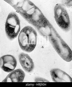 Milzbrand, Bacillus Anthracis Bakterien, TEM - Stockfoto