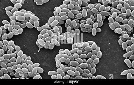 Milzbrand, Bacillus Anthracis Bakterien, SEM - Stockfoto