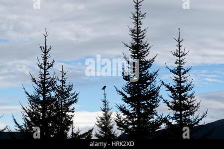 Nördlichen Sperbereule (Surnia Ulula) hoch oben auf einem Baum im Parc De La Gaspesie, Quebec, Kanada - Stockfoto
