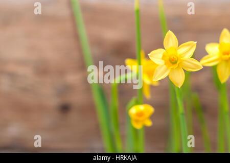 Schöne gelbe Narzissen Narcissus hautnah auf Holzwand Hintergrund - Stockfoto