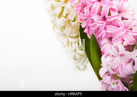 Rosa und weiße Hyazinthe auf weißem Hintergrund mit Grußkarte. Platz für text - Stockfoto