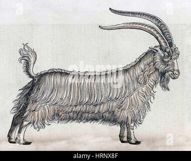Ziege, Historiae Animalium, 16. Jahrhundert - Stockfoto