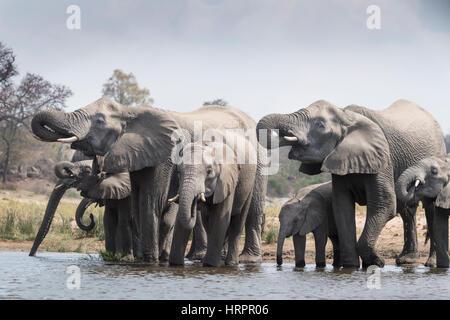 Afrikanischer Elefant (Loxodonta Africana) Herde trinken am Wasserloch, Krüger Nationalpark, Südafrika - Stockfoto