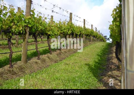 Frühling in den Weinbergen auf australischen Weingut Weingut mit grünen Blätter und Triebe - Stockfoto