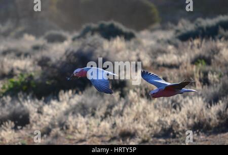 Zwei Rosakakadu Papageien im Flug über Salz Busch im Outback bei Sonnenuntergang - Stockfoto