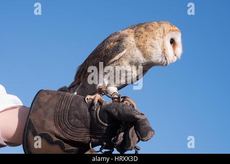 Schleiereule auf ein Falkner-Handschuh - Stockfoto
