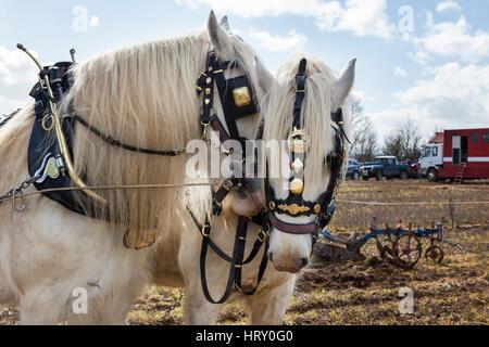 Shire-Pferden beim Pflügen Spiel statt in Trowbridge, Wiltshire - Stockfoto