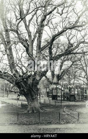 Einen alten, knorrigen Baum im Prospect Park in Reading, Berkshire. - Stockfoto