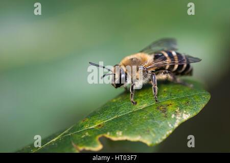 Ivy Bergbau Biene auf ein Blatt - Cornwall, Großbritannien - Stockfoto