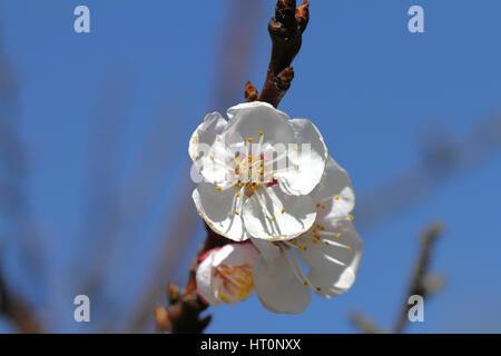 Aprikose Baum Obstblüte im Frühling in Italien lateinische Name ...