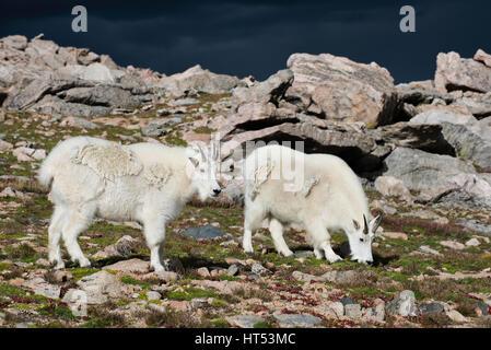 Bergziege (Oreamnos Americanus) Weiden in der alpinen Zone, Mount Evans Wildnisgebiet, Rocky Mountains, Colorado - Stockfoto
