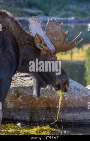 Bull Moose f (Alces Alces) Fütterung auf die Vegetation aus Teich, Indian Peaks Wilderness Area, Rocky Mountains, - Stockfoto