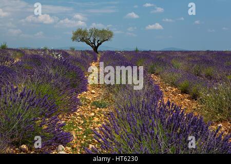 Ein einsamer Baum steht in einem Feld von Lavendel in der Provence, Frankreich. - Stockfoto