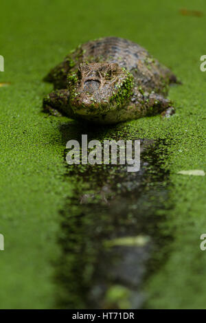 Brillentragende Brillenkaiman, Caiman Crocodilus wartet geduldig auf ahnungslose Beute zu nahe kommen.  Es findet - Stockfoto