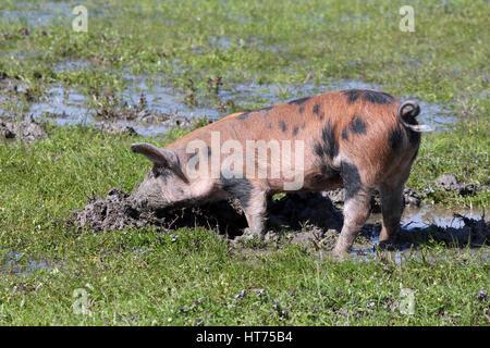 schmutzige kleine Schwein in einem mud - Stockfoto