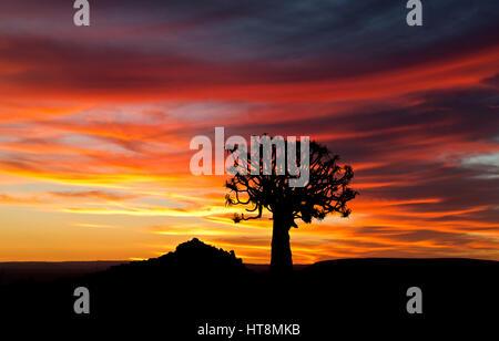 Köcher Baum Silhouette im dramatischen Sonnenuntergang - Stockfoto