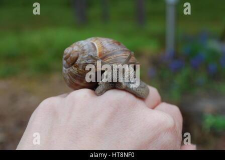 Schnecke kriecht auf Seite. Helix Pomatia (gemeinsamen Namen Burgunder Schnecken, römische Schnecke, essbare Schnecken - Stockfoto
