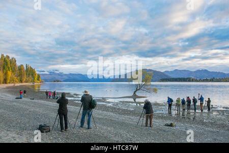 Wanaka, Otago, Neuseeland. Erfassung von Fotografen, ikonischen Weidenbaum am Ufer des Lake Wanaka, am frühen Morgen.
