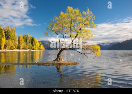 Wanaka, Otago, Neuseeland. Einsamer Weidenbaum spiegelt sich in den ruhigen Wassern des Lake Wanaka, Herbst.