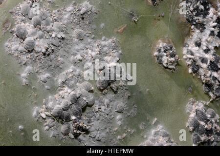 Dichten Kolonie von Schildläusen Insekt Cochenille (Dactylopius Coccus) aus denen roten Farbstoff Cochenille auf - Stockfoto