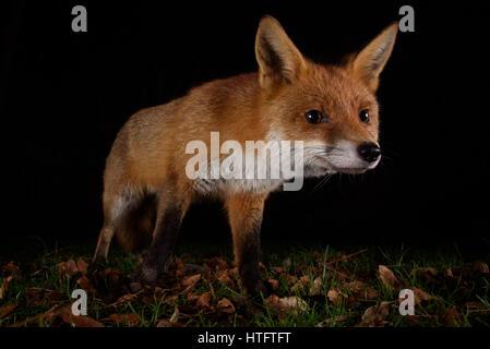 Urban Fuchs auf der Pirsch in einem London-Garten in der Nacht - Stockfoto