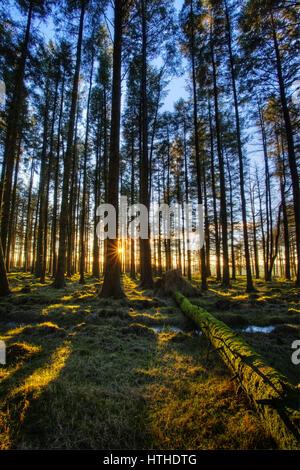 Die Sonne durch die Bäume im Wald ein Nadelbaum shinning - Stockfoto