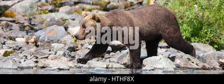 Junge Braunbären Wandern entlang Fluss und Felsen in der Nähe von Lake-Clark-Nationalpark, Alaska - Stockfoto