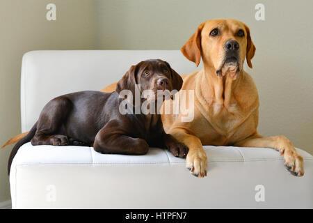 Ein gelber Labrador Retriever Erwachsenen Hund mit ihrer Schokolade braunen Welpen auf weißen Stuhl schauen neugierig - Stockfoto