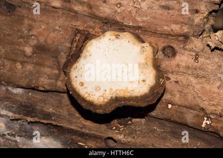 Natürliche Pilz Muster auf dem Baum anmelden Spreng. - Stockfoto