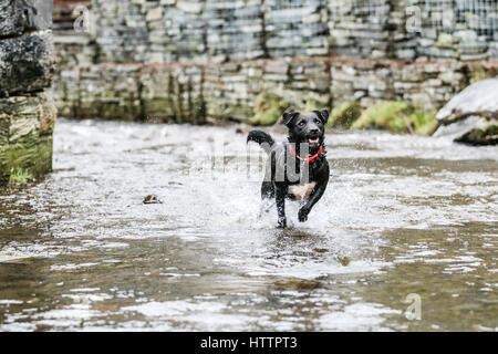 Schwarz Patterdale Terrier Hund, spielen im Bach im Blaenau Ffestiniog, Nordwales - Stockfoto