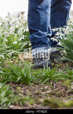 Fuß aber Schneeglöckchen in einem Wald Garten. Evenley Holz Garten, Evenley, Northamptonshire, England - Stockfoto