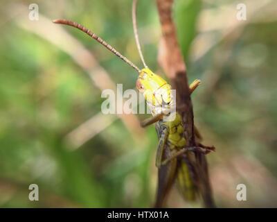 Eine Heuschrecke sitzt auf einem Zweig - Stockfoto