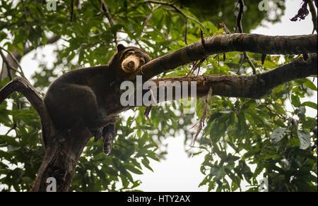 Malayischen Sonne Bär suchen Sie launisch und müde, Sepilok, Borneo, Malaysia - Stockfoto